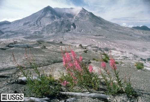 msh84_st_helens_from_harrys_ridge_fireweed_august_1984_med.jpg