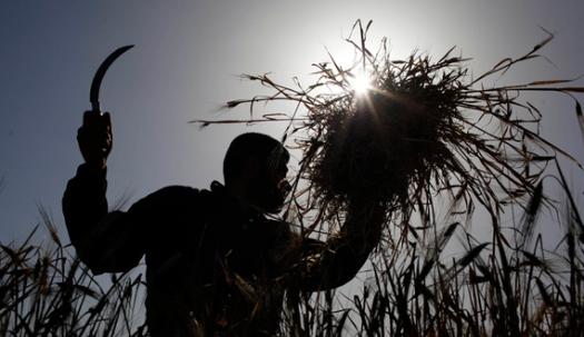 A Palestinian farmer harvests barley on a farm near the border of southern Gaza Strip with Israel