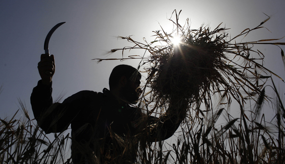 A Palestinian farmer harvests barley on a farm near the border of southern Gaza Strip with Israel